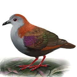 Palau Ground-Dove Body Illustration