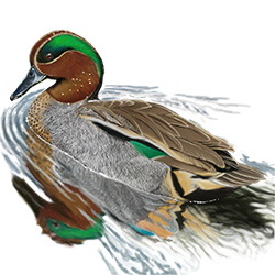 Common Teal Body Illustration