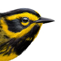 Townsend's Warbler Head Illustration.jpg