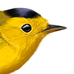 Wilson's Warbler Head Illustration.jpg