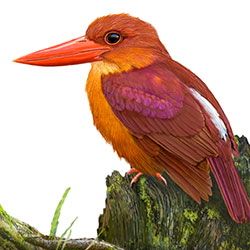 Ruddy Kingfisher Body Illustration