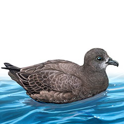 Providence Petrel Body Illustration