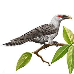 Channel-billed Cuckoo Body Illustration