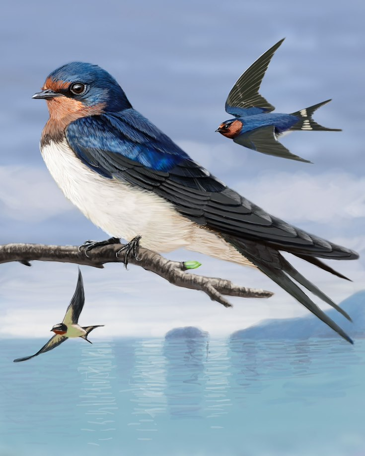 Barn Swallow (Palau)_CEPortrait_1200