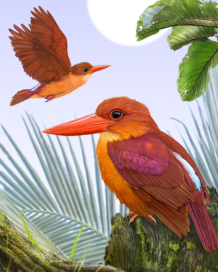 Ruddy Kingfisher_CEPortrait_1200