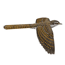 Pacific Long-tailed Cuckoo Flight Illustration