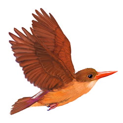 Ruddy Kingfisher Flight Illustration