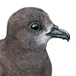 Providence Petrel Head Illustration