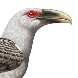 Channel-billed Cuckoo Head Illustration