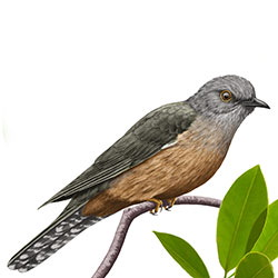 Brush Cuckoo Body Illustration