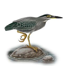 Striated Heron Body Illustration