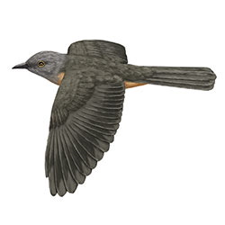Brush Cuckoo Flight Illustration