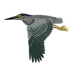Striated Heron Flight Illustration
