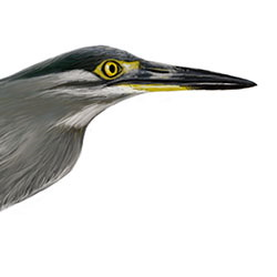Striated Heron Head Illustration