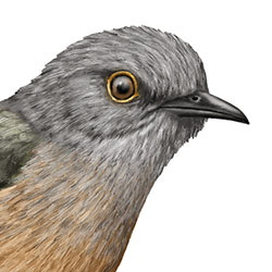Brush Cuckoo Head Illustration