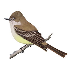 Dusky-capped Flycatcher Body Illustration