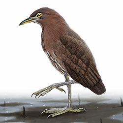 Japanese Night-Heron Body Illustration