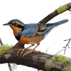 Varied Thrush Body Illustration
