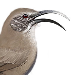 California Thrasher Head Illustration
