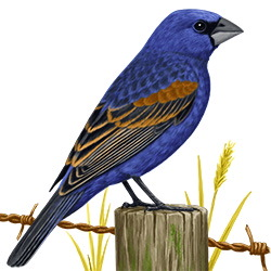 Blue Grosbeak Body Illustration