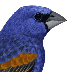 Blue Grosbeak Head Illustration