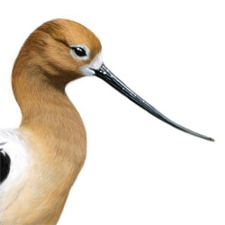 American Avocet Head Illustration