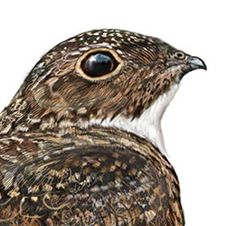 Antillean Nighthawk Head Illustration.jpg