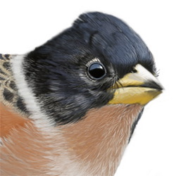 Brambling Head Illustration