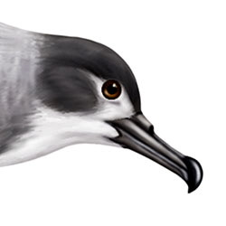 Buller's Shearwater Head Illustration