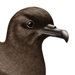 Bulwer's Petrel Head Illustration