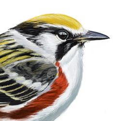 Chestnut-sided Warbler Head Illustration