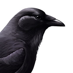 Chihuahuan Raven Head Illustration