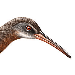 Clapper Rail Head Illustration.jpg