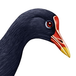 Common Gallinule Head Illustration