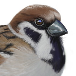 Eurasian Tree Sparrow Head Illustration