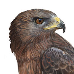 Ferruginous Hawk Head Illustration.jpg