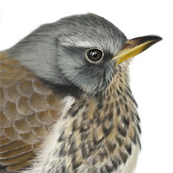 Fieldfare Head Illustration
