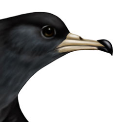 Flesh-footed Shearwater Head Illustration