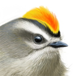 Golden-crowned Kinglet Head Illustration