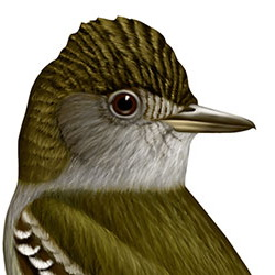 Great Crested Flycatcher Head Illustration