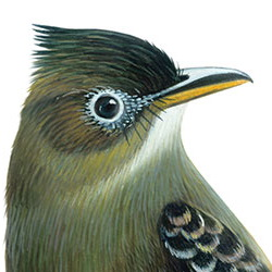 Greater Pewee Head Illustration