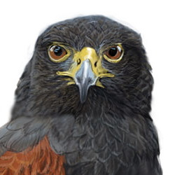 Harris's Hawk Head Illustration