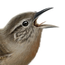 House Wren Head Illustration