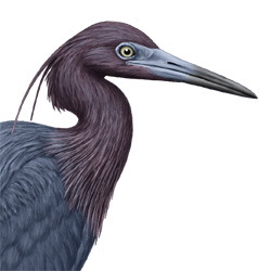 Little Blue Heron Head Illustration