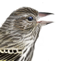 Pine Siskin Head Illustration