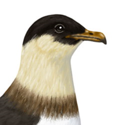 Pomarine Jaeger Head Illustration