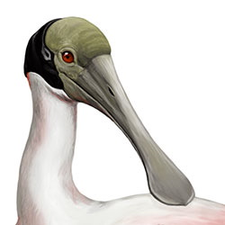 Roseate Spoonbill Head Illustration