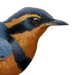 Varied Thrush Head Illustration