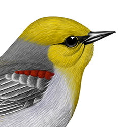 Verdin Head Illustration