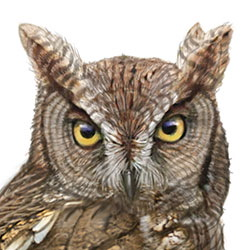 Western Screech-Owl Head Illustration.jpg